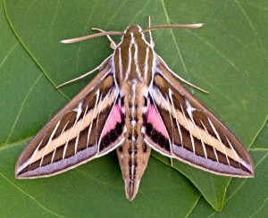 7894-White-lined-Sphinx-Hyles-lineata