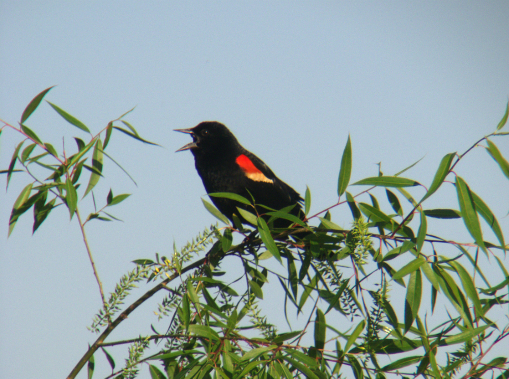 Male Red-winged Balckbird