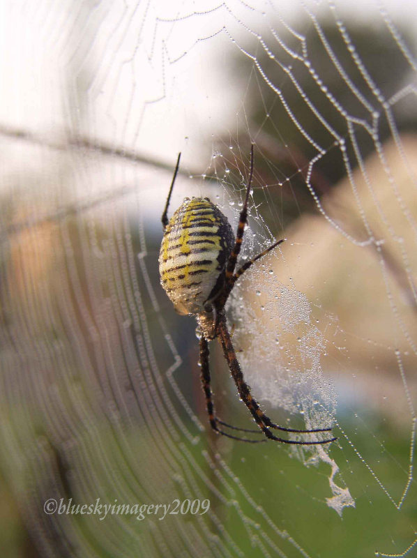 White-backed Garden Spider