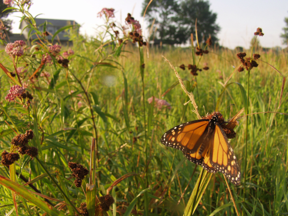 Monarch Meadow