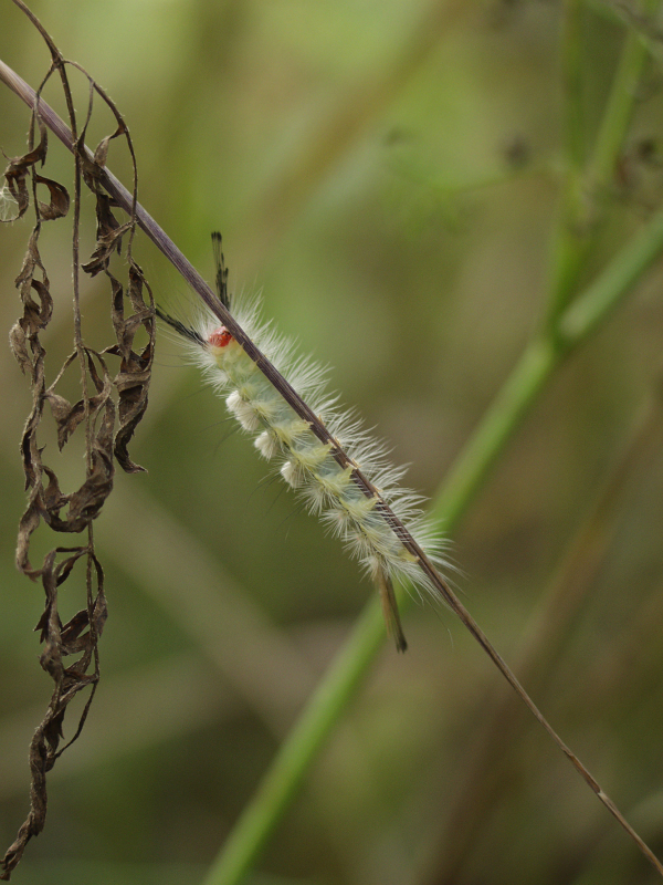 Tufted Caterpillar
