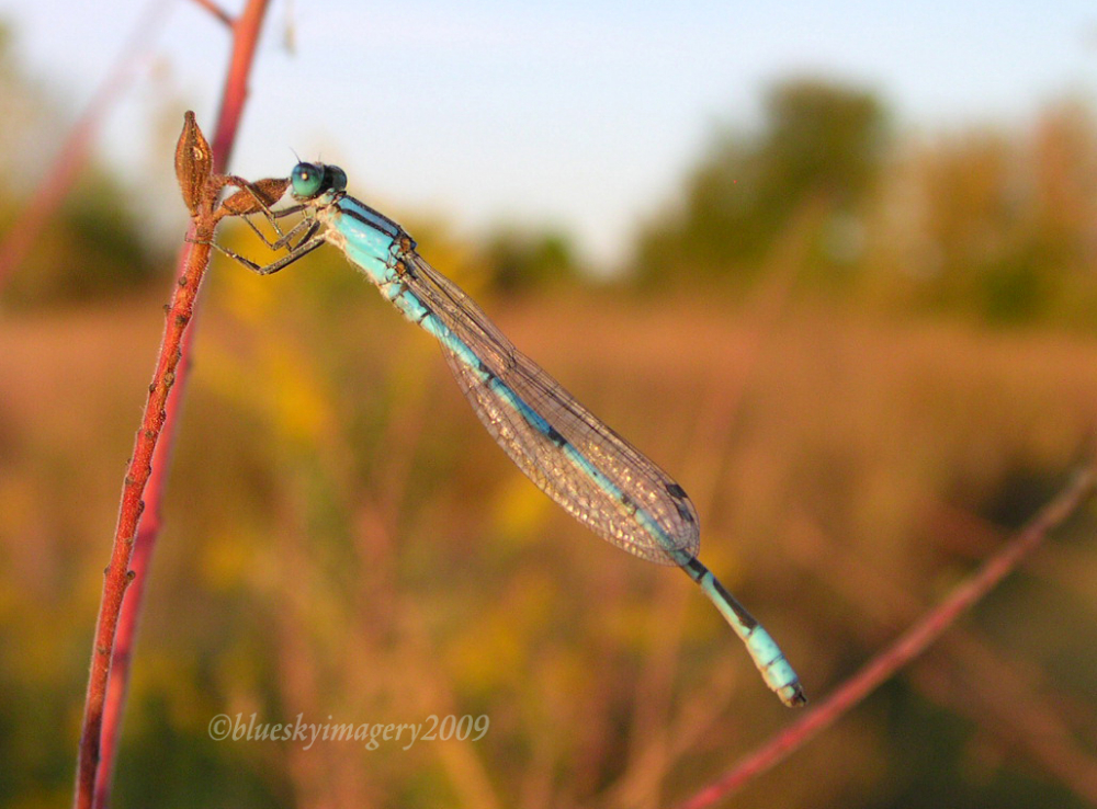 Common Blue-tailed Damselfly