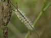 Tufted Caterpillar