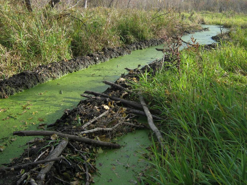 Beaver Built Canal