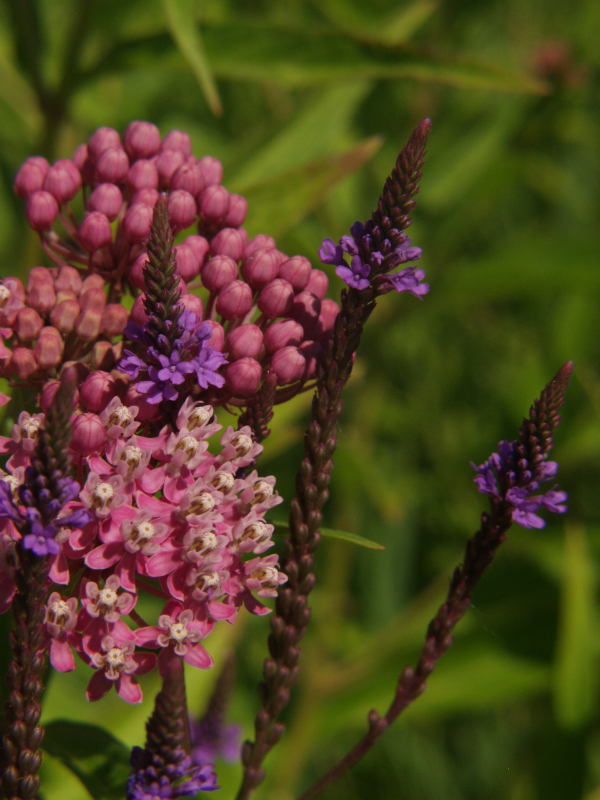 Swamp Milkweed and Blue Vervain