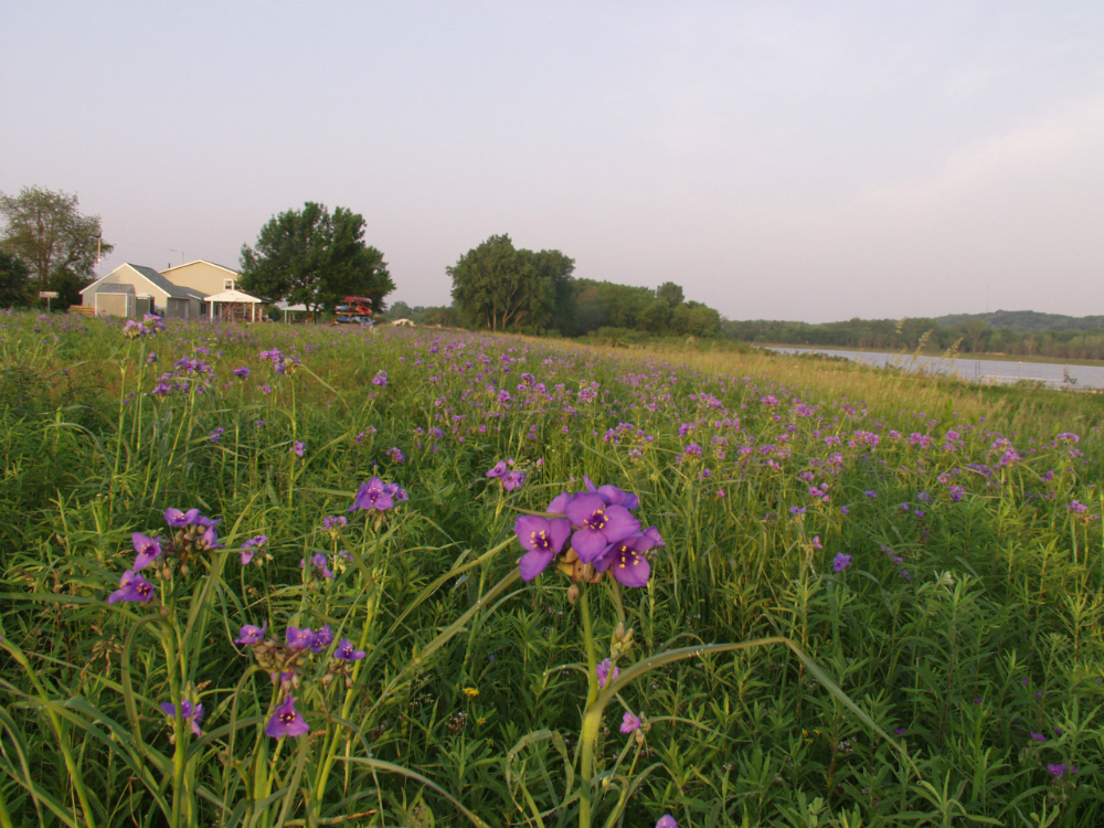 Spiderwort Meadow