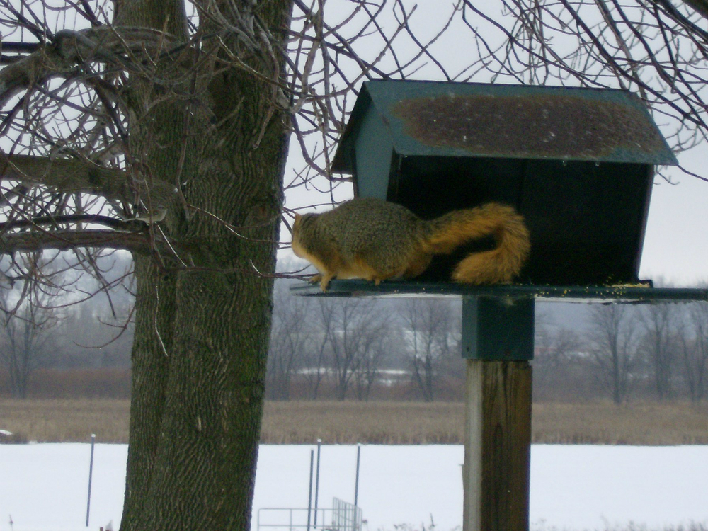 Fox Squirrel on the Bird Feeder