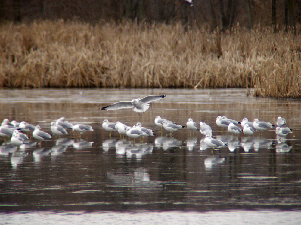 Winter Gulls