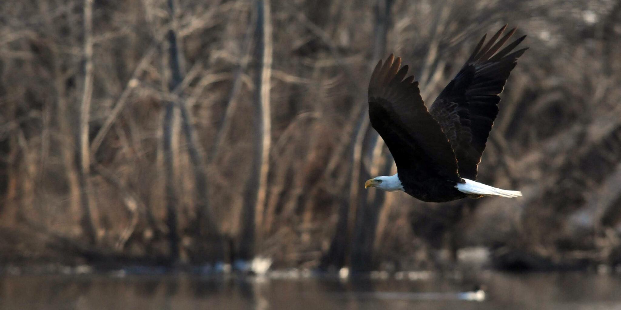 Bald eagle flying at Nahant Marsh