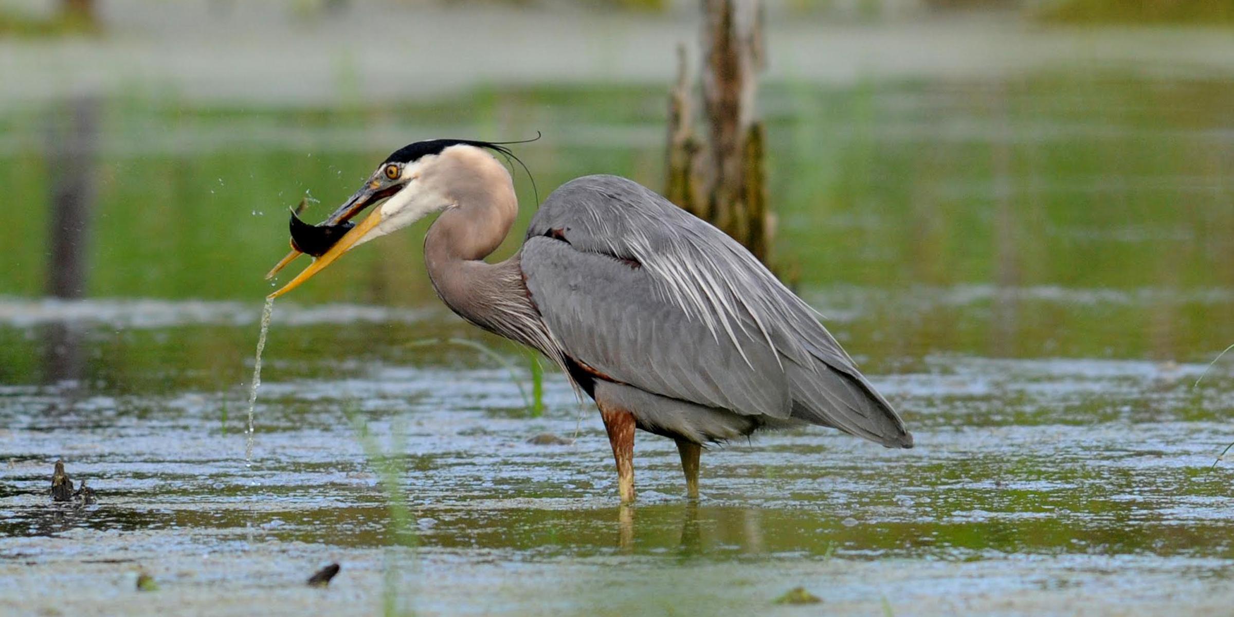 Blue Heron catches a fish at Nahant Marsh