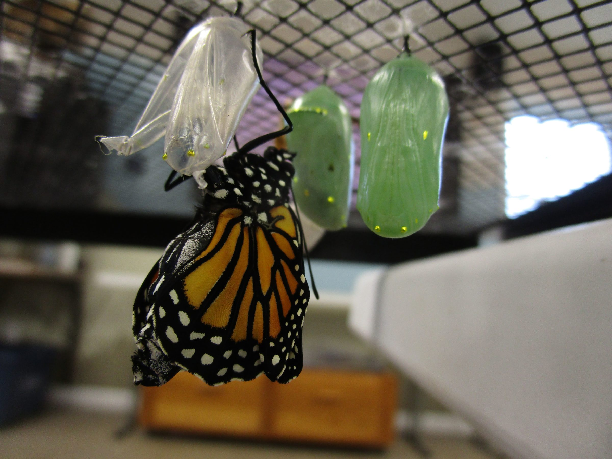 Emerged Monarch at Nahant Marsh Education Center