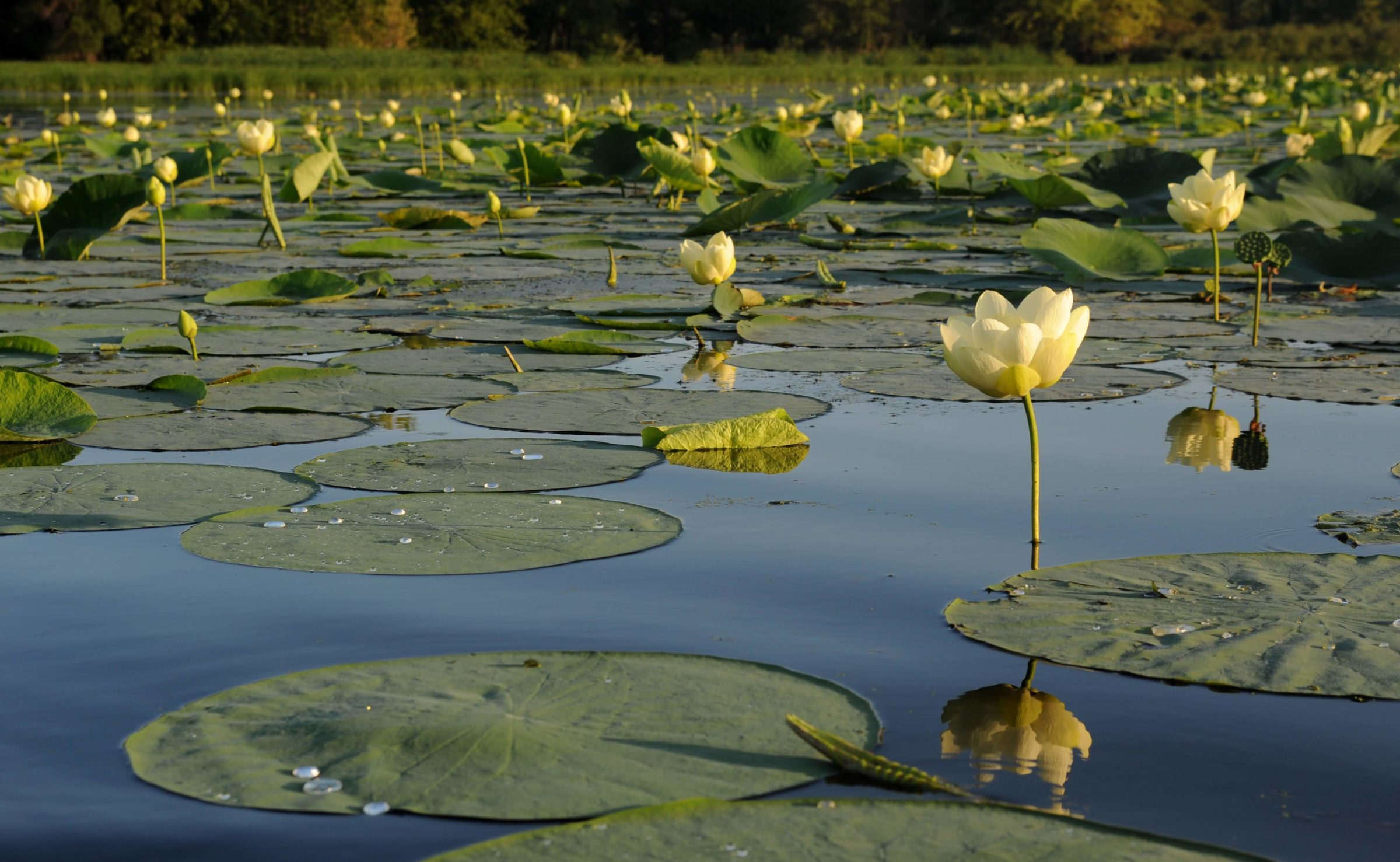 Lotus Field on a summer morning